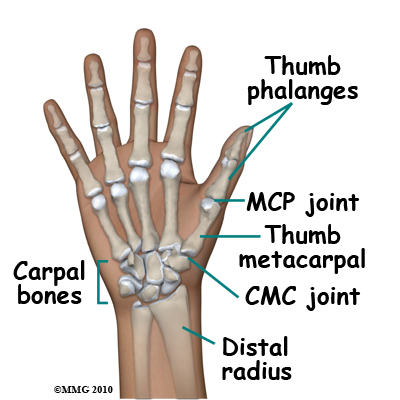 Anatomy thumb joints