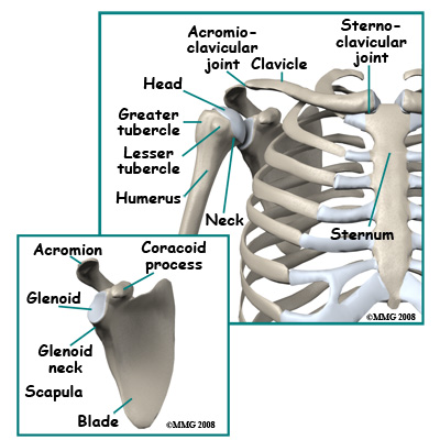 adult_shoulder_fx_anatomy01
