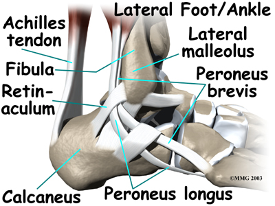 ankle_anatomy_tendons04