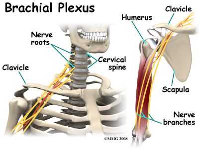cervical_burners_anatomy01