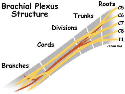 cervical_burners_anatomy03