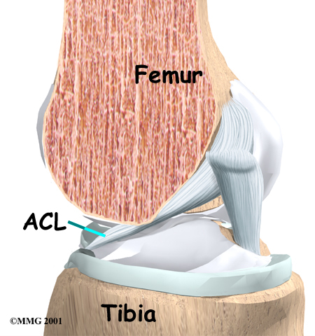 knee_acl_anatomy01